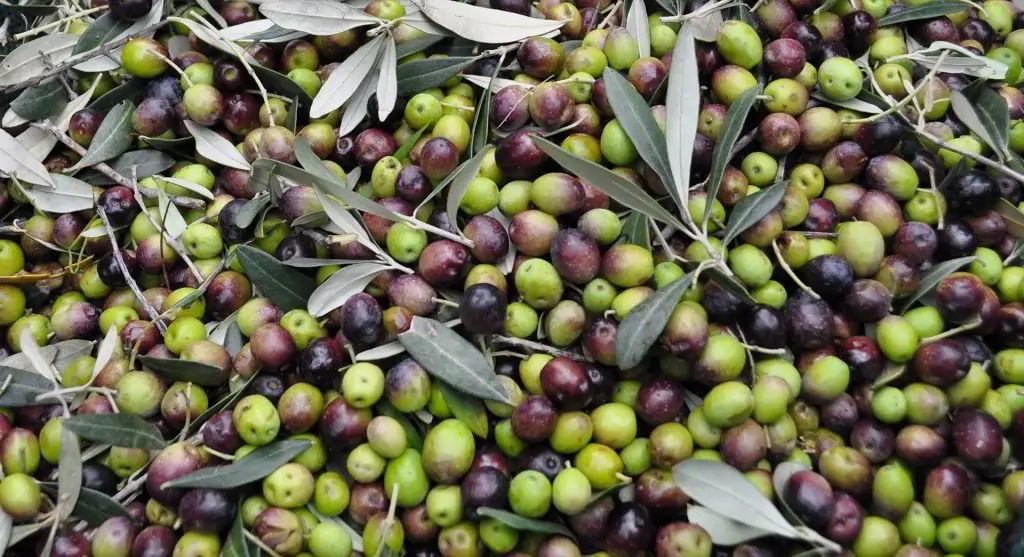 Curiosità sull'Olio extra vergine di oliva
